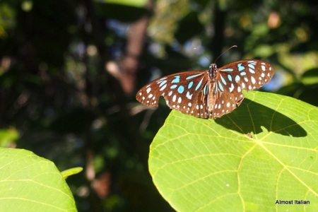 Rainforest butterfly, Magnetic Island, Queensland.